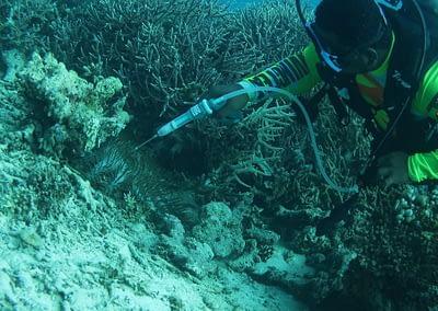 Raja Ampat Marine Park Authority Crown of Thorns Starfish 11