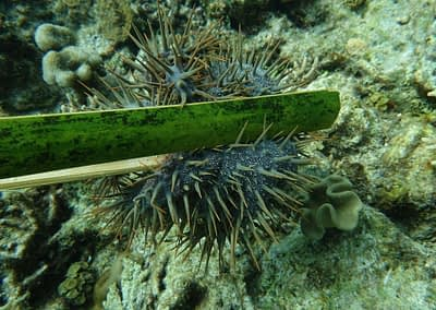 Raja Ampat Marine Park Authority Crown of Thorns Starfish 10