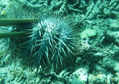 Raja Ampat Marine Park Authority Crown of Thorns Starfish 13