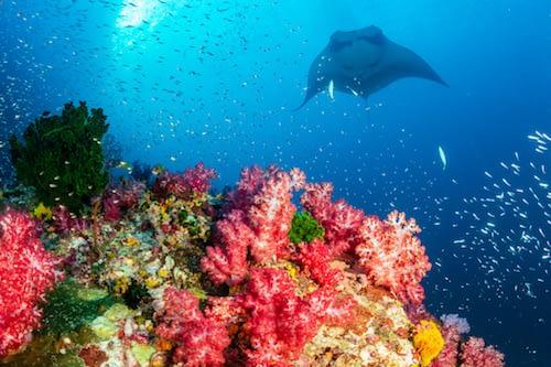 Oceanic Manta Ray swimming over a colourful, healthy tropical coral reef Wayag Raja Ampat