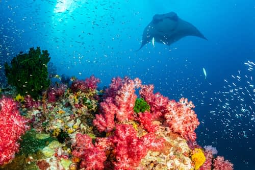 Oceanic Manta Ray swimming over a colourful, healthy tropical coral reef Wayag Raja Ampat