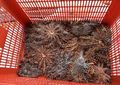 Raja Ampat Marine Park Authority Crown of Thorns Starfish 7